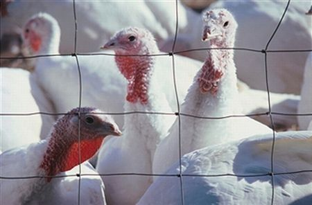 raising turkeys for meat