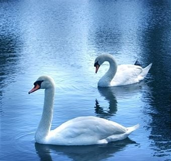 Swans are elegant animals and they are not meant to be kept like domestic pets