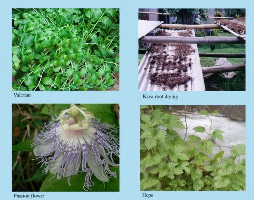 valerian, kava, passion flower and hops