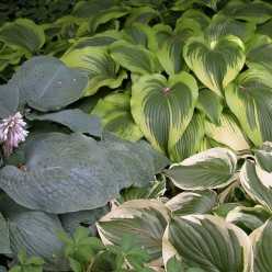 Hostas come in all shades of green, and in many varieties.