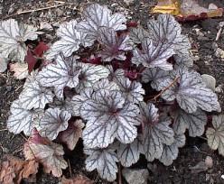 Heuchera - a silvery leaf variety.