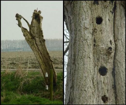 Dead pollard willow trees