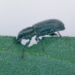 Biological Control of the Pea and Bean Weevil
