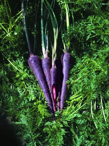 Carrots come in a variety of colors-including purple and black