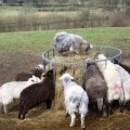 Herdwick sheep , the Lake District sheep.