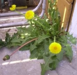 Dandelions - A nutritious edible weed