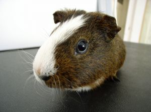 Guinea Pigs are hard to forget.