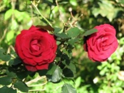 Hip Old Roses for Sustainable Landscaping