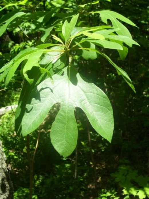 The dried and ground leaves of sassafras form the basis of gumbo fil powder.