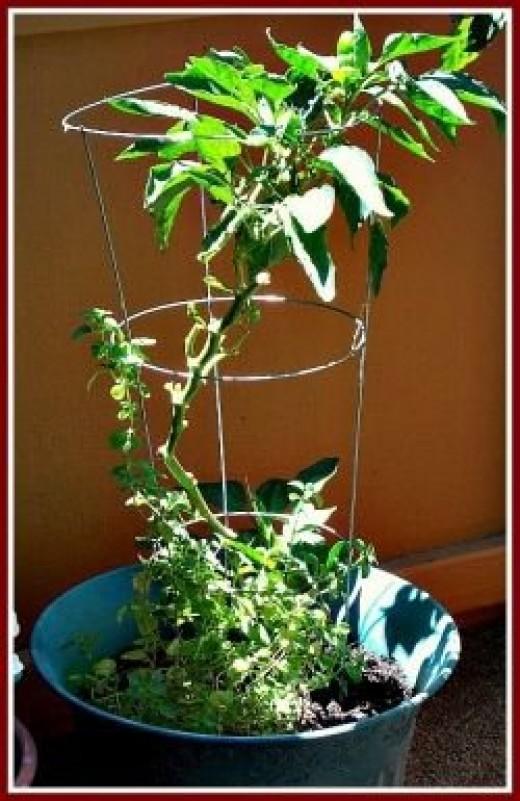 Sweet Pepper Tree June 2012  - Image: M Burgess