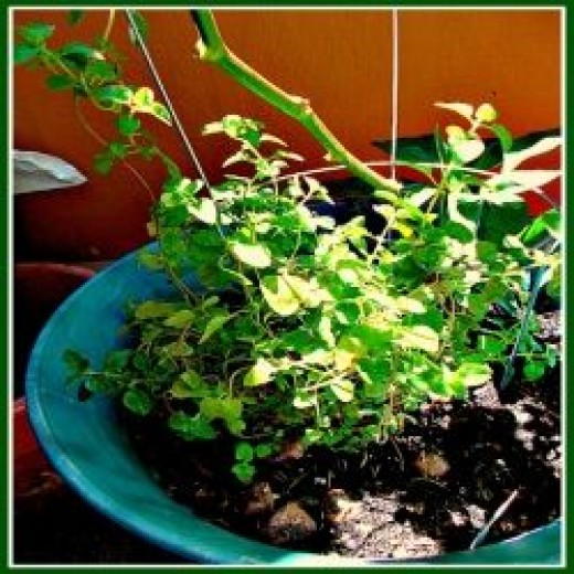 Oregano Plant - Image: M Burgess