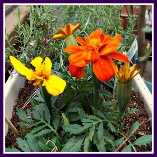 Marigold - Companion Plant