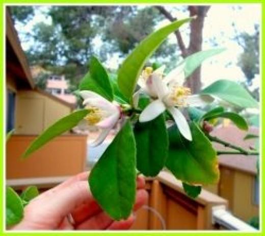 Lemon Flowers - Blossoms ~ Image: M Burgess