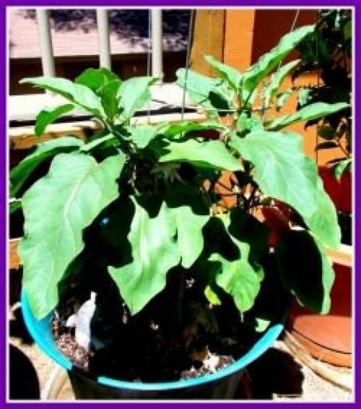Eggplant Leaves - Image: M Burgess