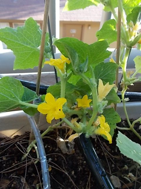 Happy Cucumber flowers...