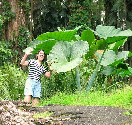 Giant Elephant Ear Plant at Lava Tree State Park Hawaii