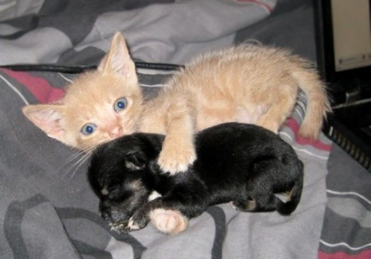 This is a real photo. You can see that the kitty just loves the pup. Photo credit to lovemeow.co by Beautiful Calico Kitty