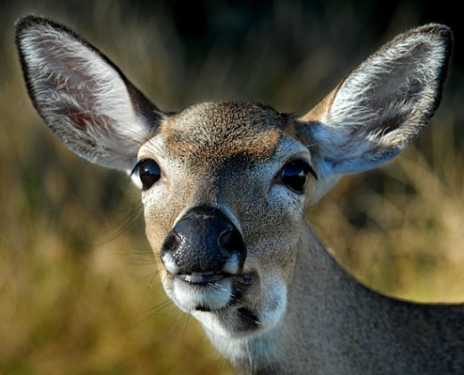 Key Deer are exclusive to the Florida Keys.  Residents love to look for them as they swim from island to island.