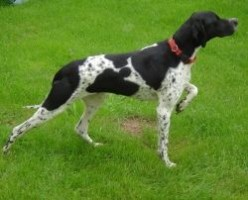 How Not to Choose an English Pointer Puppy