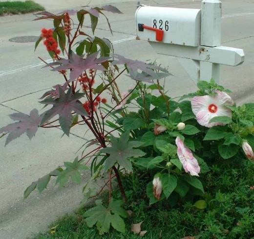 A fun flower bed with perennial Hardy Hibiscus and annual Castor Bean plants.
