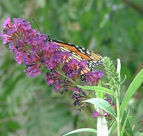 A butterfly on one of my butterfly bushes.
