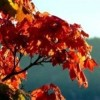 Autumn Leaves Bow Out in a Blaze of Glory at Kaloya Regional Park