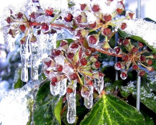 Iced Ivy