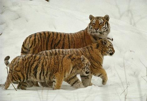 Siberian Tiger family