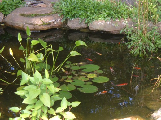 Our pond offers a consistent water source