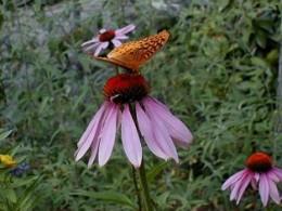 Butterflies just love blooms!