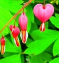 Bleeding Heart - Dicentra spectabilis - An Old Fashioned Spring Perennial