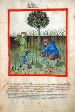 Ancient Garlic Harvest