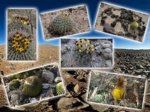Blooming Barrel Cactus Collage