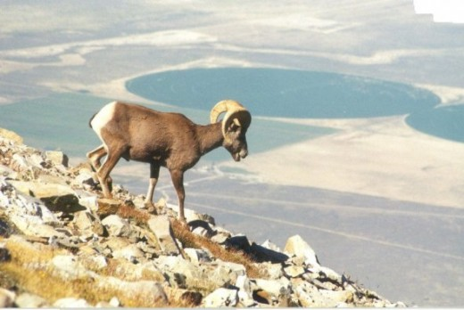 Bighorn sheep (picture courtesy National Park Service)