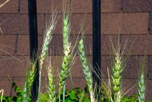 Urban Wheat