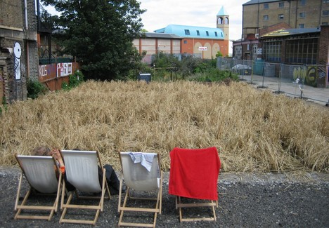 Urban Wheat  (ready for harvest and spectators)
