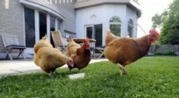 urban chickens
