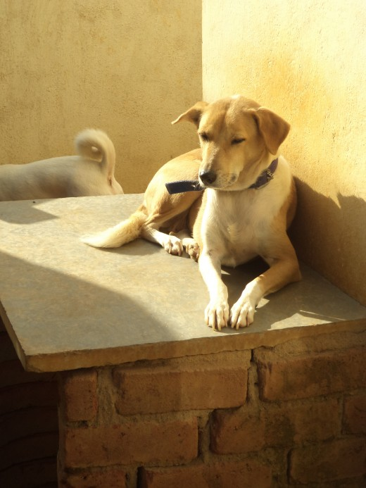 Dogs Love Sunshine. It Makes Them Strong, Boosts Immunity. Choco Enjoys The Sun.