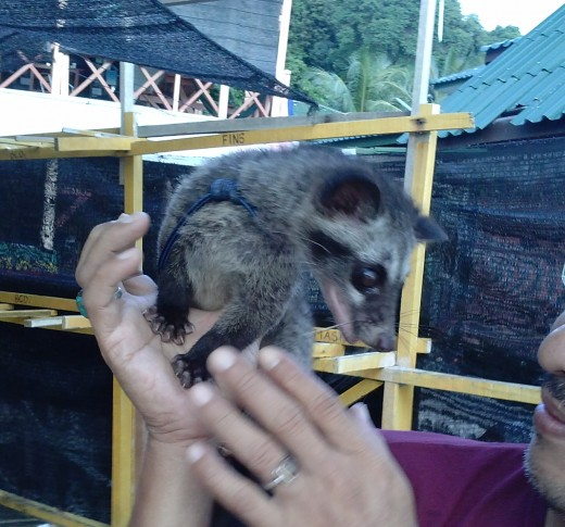 A pet civet cat encountered on my travels. The owner used to collect its poo and make his own coffee. It was well looked after and was reasonably friendly