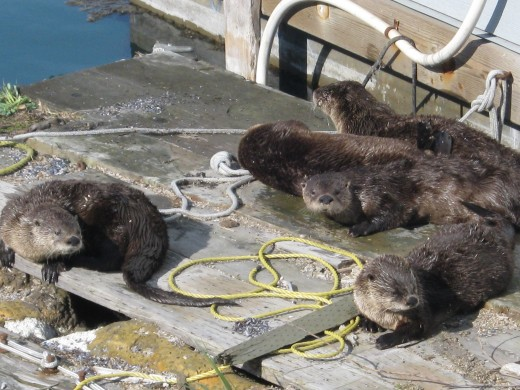 Seals on the Dock - View from our Supper Table; Alaska Abounds with Sea Life