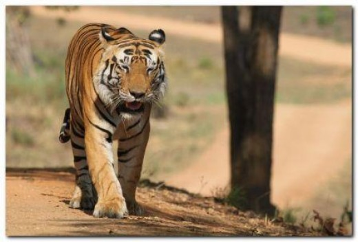 Wild Tiger Picture