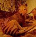 On the Trail of the Tasmanian Tiger