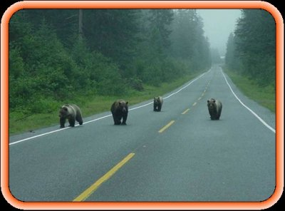 Brown Bears out for a stroll