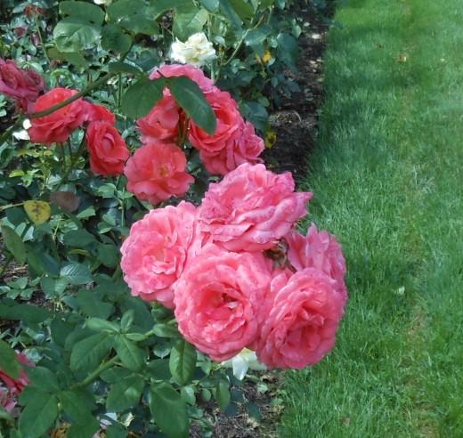 Lovely roses.