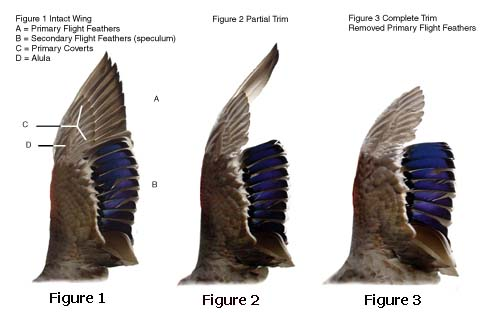 A clipped bird (Figure 3) are not able to fly at all - which is recommended to prevent escape. A partially clipped bird (Figure 2) can fly but not over two miles as flight will require more energy. Birds that aren't clipped (Figure 1) can fly well.
