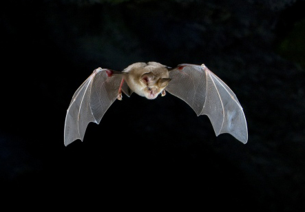 Horseshoe Bat in flight