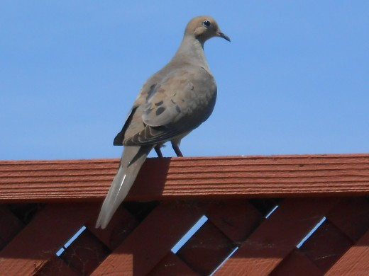Dove sitting on the back fence