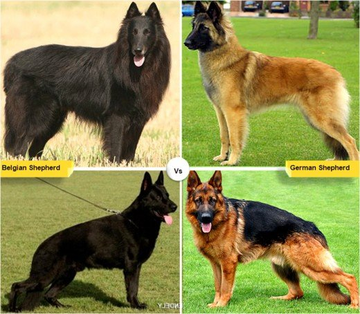 Belgian german shepherd vs german shepherd