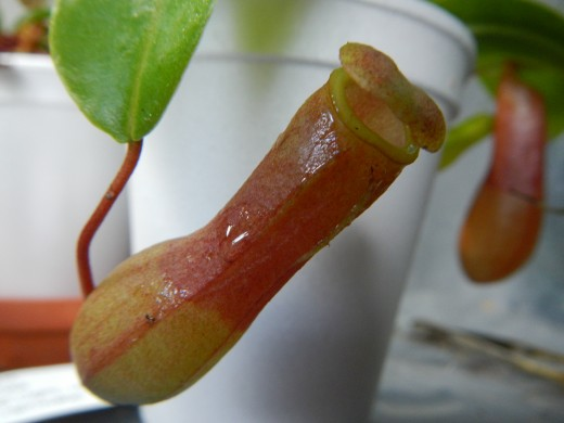 A pitcher plant with a brand new pitcher.
