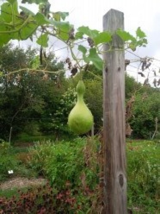 Birdhouse gourd vine growing on wires strung between fence posts.